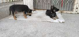 Two puppies (male and female) GSD for sale age 3 months black and ten