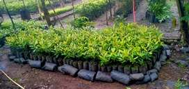 Bibit/ Pohon Cingkeh sansibar