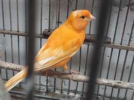 Burung kenari sehat
