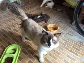 Kucing Ragdol berserta 2 persia
