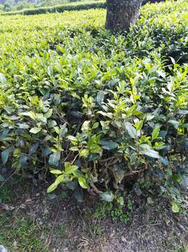 I want sell my tea garden for money problem