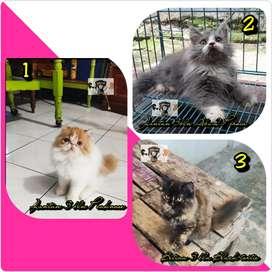 Kucing Persia Peaknose dan Medium