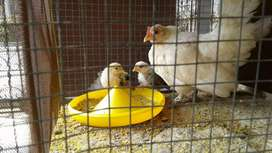 ayam kate betina + 3 anak umur 1 bulanan