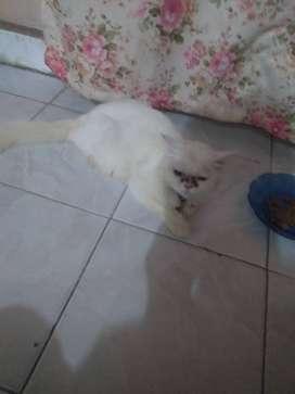 Kucing persia...