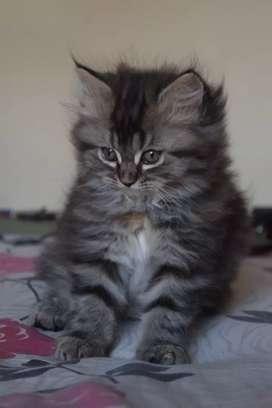 Persian Male Kitten