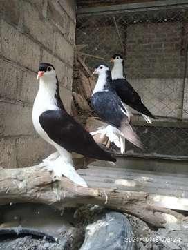 Merpati Lahore 3 ekor
