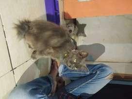 Persia medium Betina campuran kucing kampung