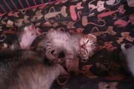 Dijual murah  cepat Anakan kucing / kitten / persia / torti