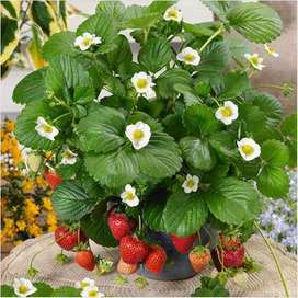 Strawberry plants of Dir availableسٹرابری