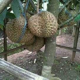 BARU Bibit Durian monthong bisa berbuah dalam pot - DELIFMART
