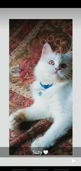 Pesrion female doll face cat tripple coated  for sale