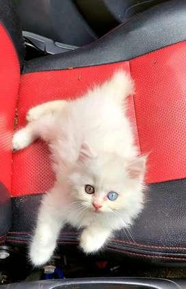 Kucing Persia, bulu kapas odd eye