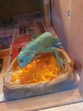 dijual blue iguana