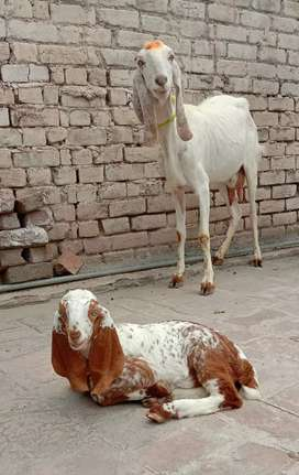 Goat with baby