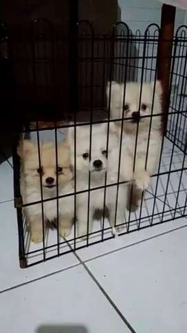 Puppy Mini pomeranian / minipom 2bln
