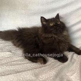 Kucing persia black