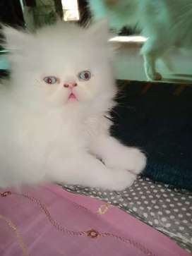 Persian cats and kiteens available