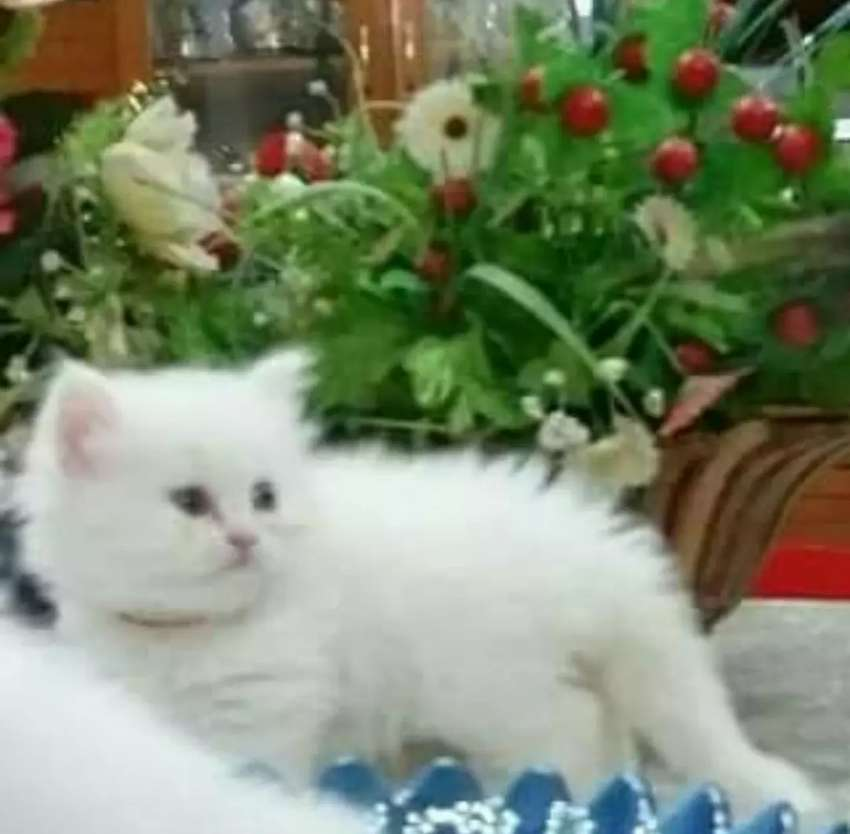 All type of cat available 0