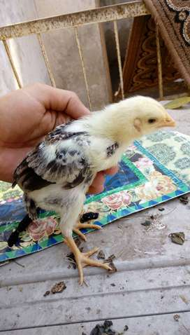 Fancy Buttercup breed chicks Available