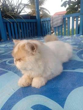 Kucing persia peaknoise