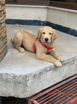 Top class & pedigree golden retriever male pup available