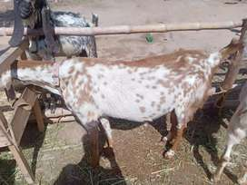 Pure makhi chine goat for sell