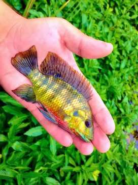 Red belly Tilapia Ciclid Fish Free