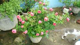 Real bonsai rose plant with real flowers