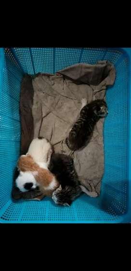 Kucing campuran bulu tebal