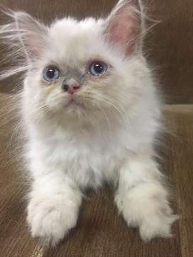 Kucing persia betina white solid / putih himalaya umur 2bln+