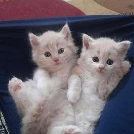 Persian kittens dubble bone for sale