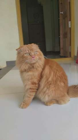 Persian male cat for matting
