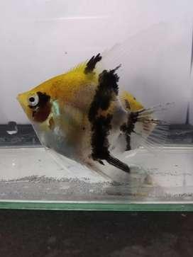 Jual ikan hias Manfish