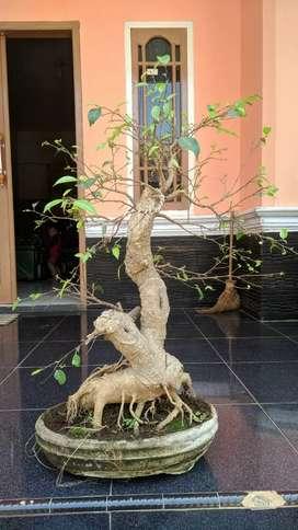 bonsai beringin xl