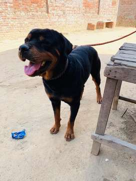 Rottweiler Available for stud services