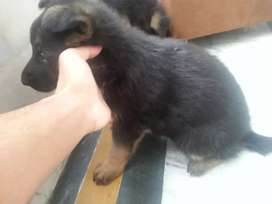 German shepherd puppies 4sale 2female age 30 days health activiti