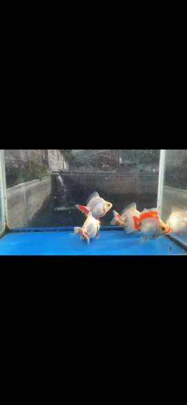 Ikan koki ryukin rw size 9_10cm