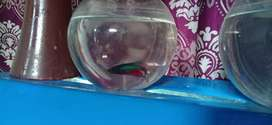 Beta fish (fight fish ) male