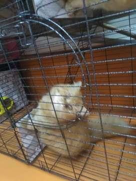 Dijual satu pasang kucing persia ( long hair )Lengkap kandangx