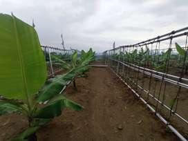 kavlingan viral tanah kebun pisang cavendish dan vanili