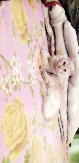 Persian cat for months old