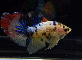 Ikan cupang yellow koi galaxy