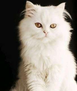 Persion cat punch face triple coated male for sale or Exchange