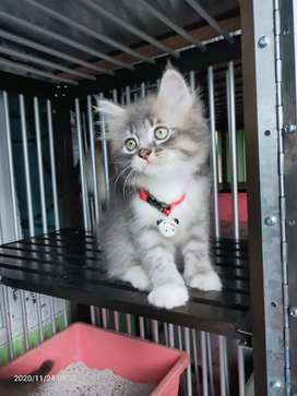 Kitten persia abu putih, jantan usia 3 bulan