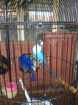 Love bird plus kandang