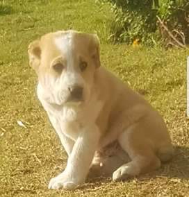 Alabai Dog 2 months male for sale