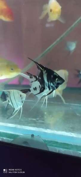 Ikan manfish marbel 3-4cm cakep gan