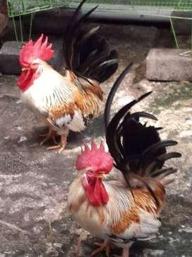 Di Jual Ayam Jago Kate Bibit Unggul Sehat