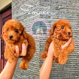 Red toy poodle betina