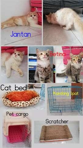 Kucing ras, mixdome, persia, bukan mainecoone, bukan ragdoll